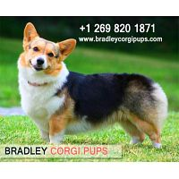 AKC Corgi Puppies | Corgi Puppy Breeder - Bradley Corgi Pups