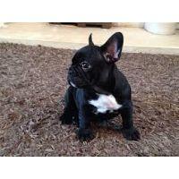 Cachorros de Bulldog Francés para adopción libre.