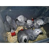 Available Fertile Parrots Eggs and parrots for sale