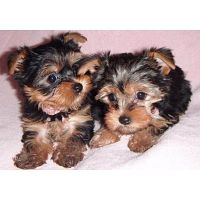 Excellent Yorkie Puppies Available for Free