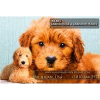 Cheap Labradoodle Puppies | Mini Labradoodles for Sale