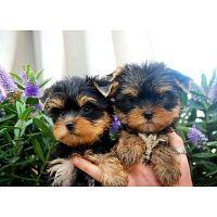 cachorros yorkie encantadores para la venta