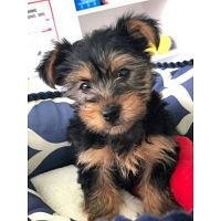 Adorable Outstanding Yorkie Puppies