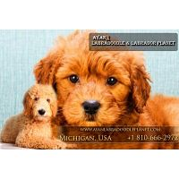 Buy and Cheap Labradoodle Puppies for Sale near Me – Dog Breeds