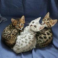 Lindos gatitos de Bengala disponibles
