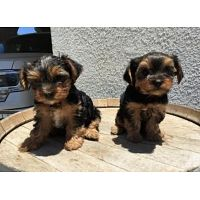 Charming AKC T-Cup Yorkie puppies