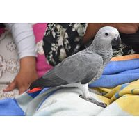 Pair Of DNA Tested Congo African Grey Parrots In Aadoption