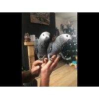 lovely and Adorable Congo African Grey Parrot