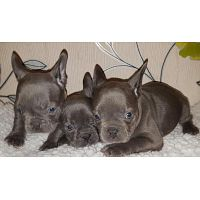 Beautiful Litters Of French Bulldog Puppies For Re Homing