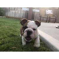 English Bulldog Puppies for Sale in Texas | Drogon