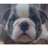 Tyrion Lannister a Lovely Bulldog for Sale