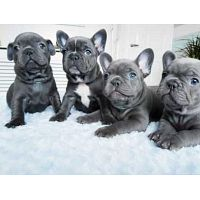 Solid Blue french Bulldog Puppies