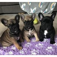Amazing French Bulldog puppies