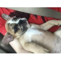 Merle Fawn Female French Bulldog