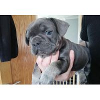 male and female french bulldog for sale