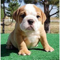 amamzing english bulldog for adoption.