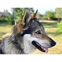 Perro lobo Checcoslovaco