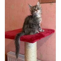 maine coon gatitos - hembra