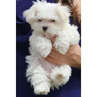 Healthy Maltese Bichon Puppies For Adoption