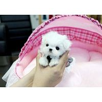Healthy Maltese Dog for Sale in USA