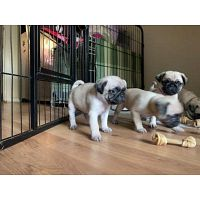 Healthy T-cup Pug Puppies