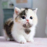 Scott munchkin kittens for sale