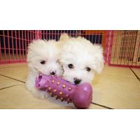 Adorables cachorros malteses sobresalientes
