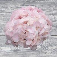Order Wholesale Hydrangea Flowers - Eden Hydrangeas Farms
