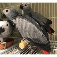 African Congo Grey Young Pairs Available