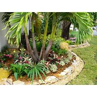 Palm Trees Cape Coral - Beautify Your Home With The Best Palm Trees