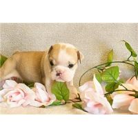 Beautiful and awesomely Cute English Bulldog puppies for sale
